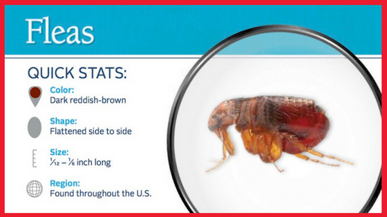 The Adult Flea