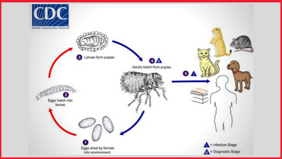 Life Cycle and Transmission into Cats - How can a cat get fleas