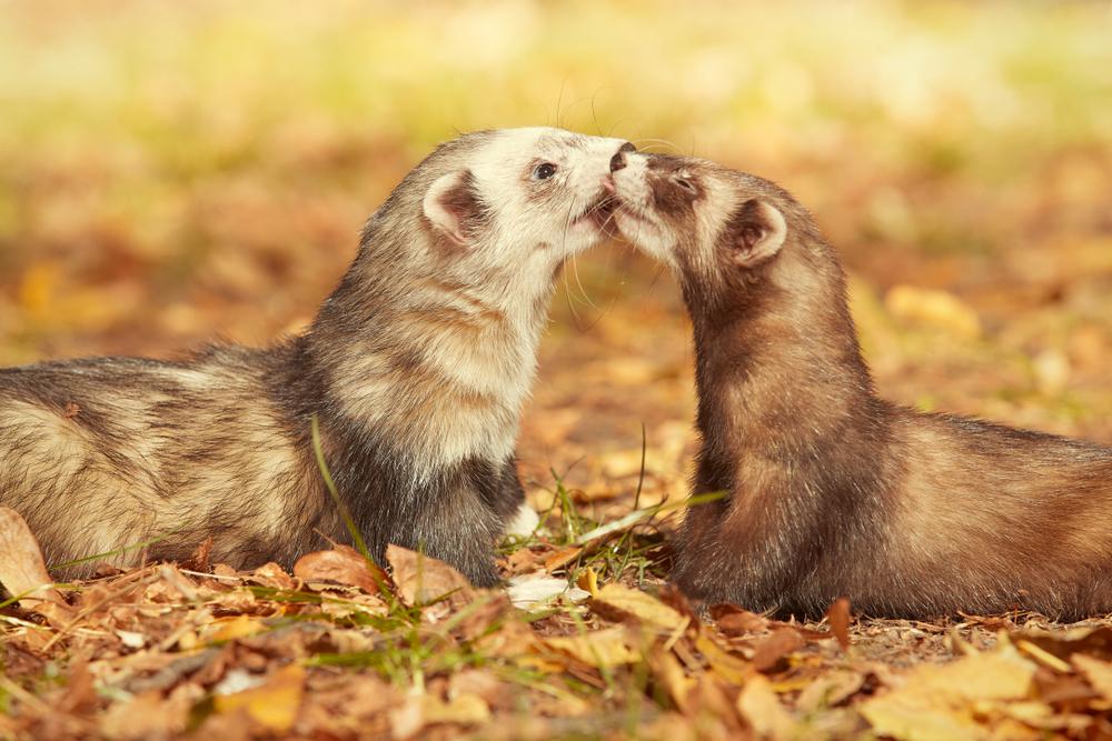 Ferrets Eat