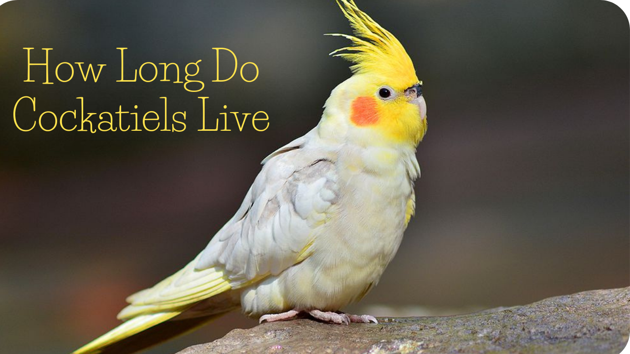 How long do cockatiels live