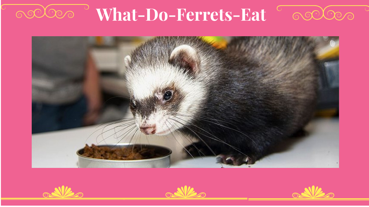 what-do-ferrets-eat