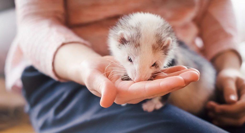 can ferrets eat cat food