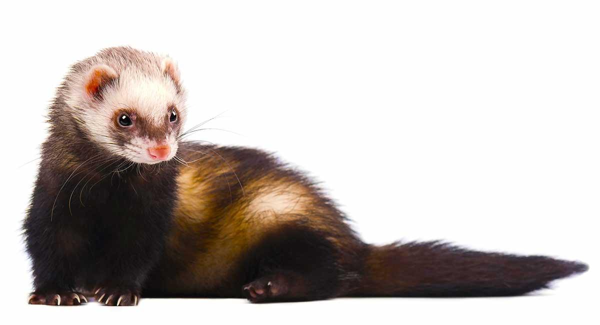 do ferrets smell