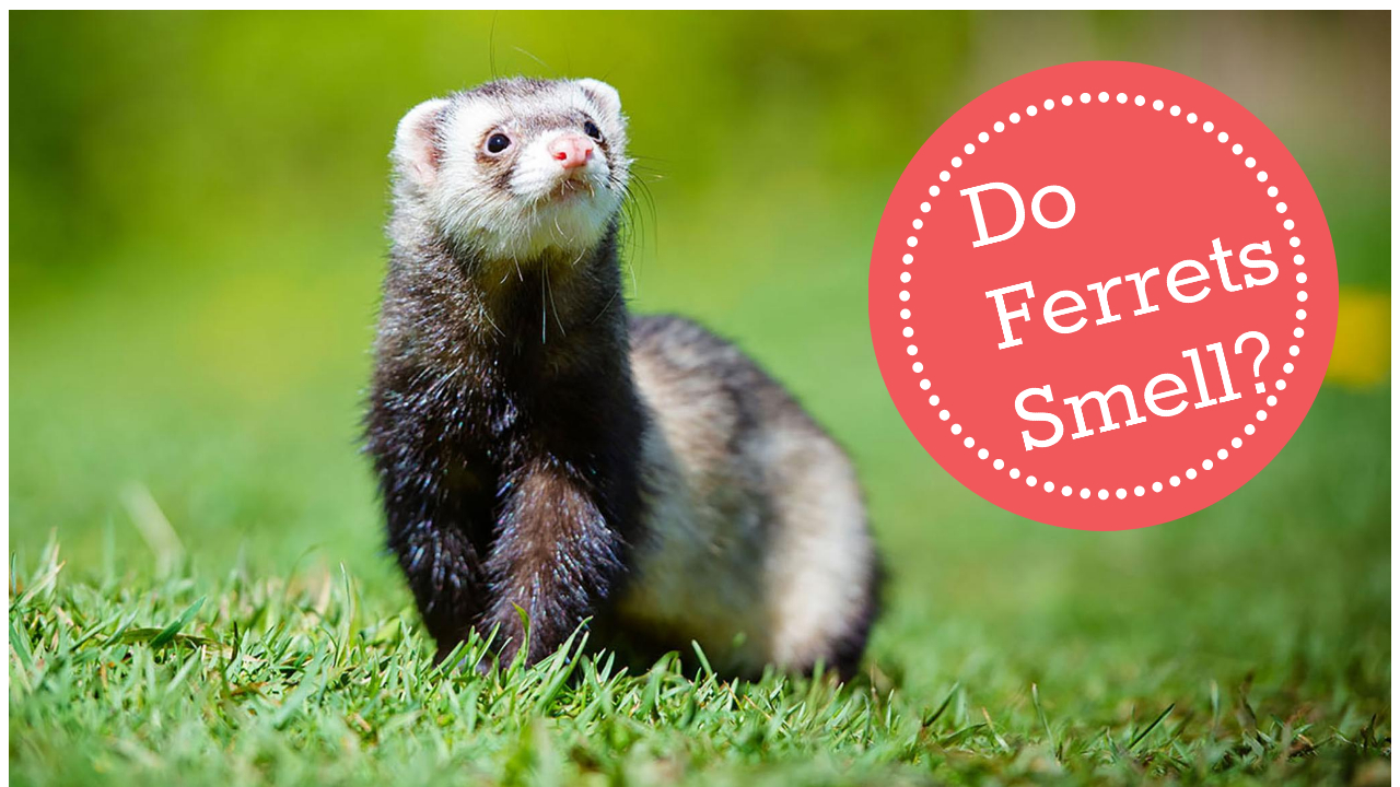 do ferrets smell
