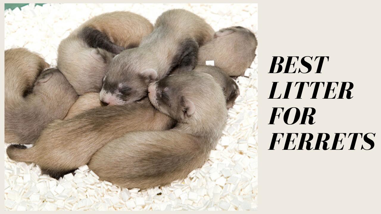 Best Litter For Ferrets