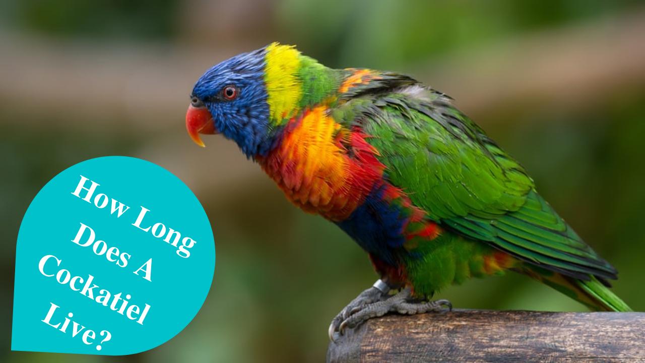how long does a cockatiel live