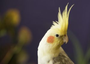 How To Train A Cockatiel