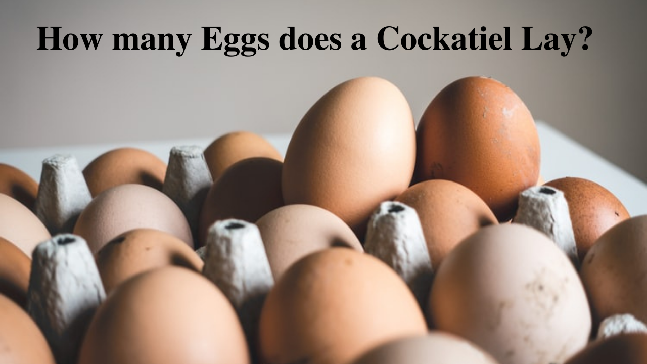 how many eggs does a cockatiel lay