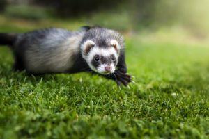 how to scruff a ferret