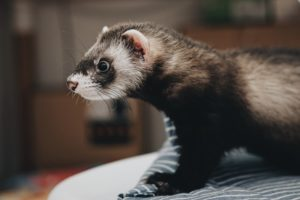 how much is a ferret