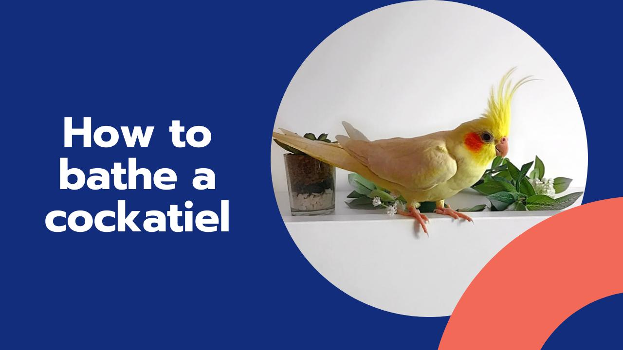 how to bathe a cockatiel