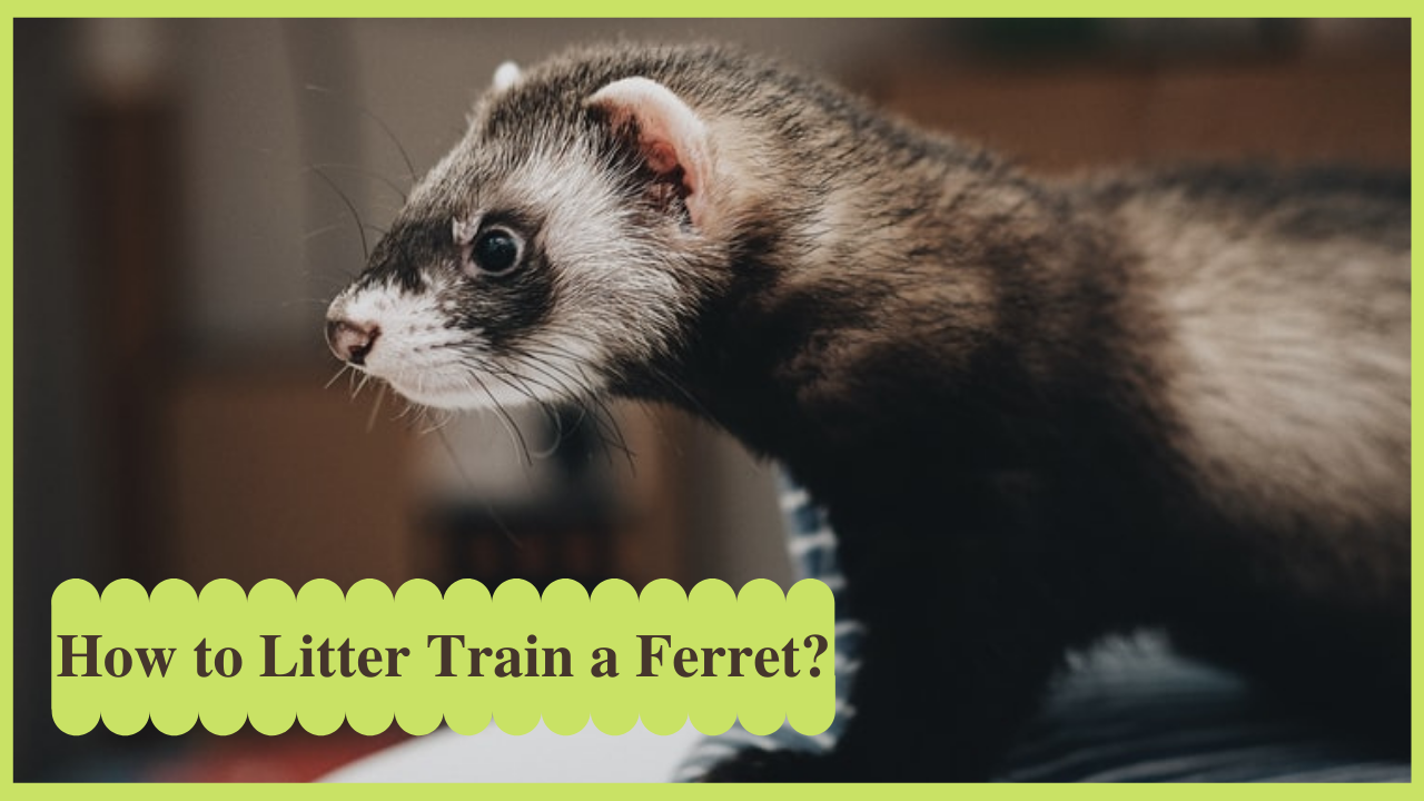 how to litter train a ferret
