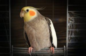 how to clip Cockatiel wings