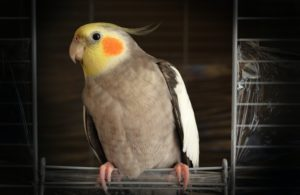 how much does a cockatiel cost